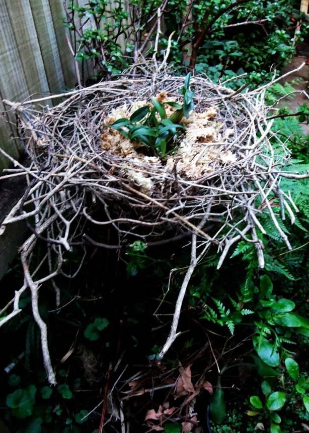 bush-orchid-nest-3