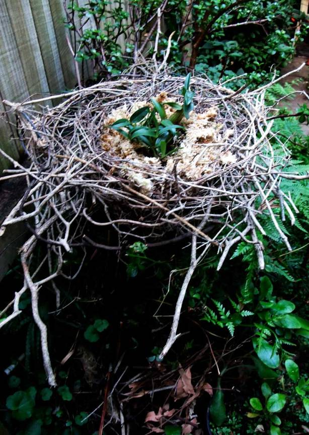 bush-orchid-nest-3