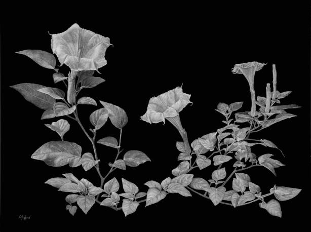 Datura wrightii by Christobel Spafford