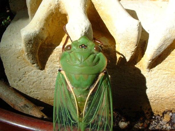 mystical cicada aka green grocer
