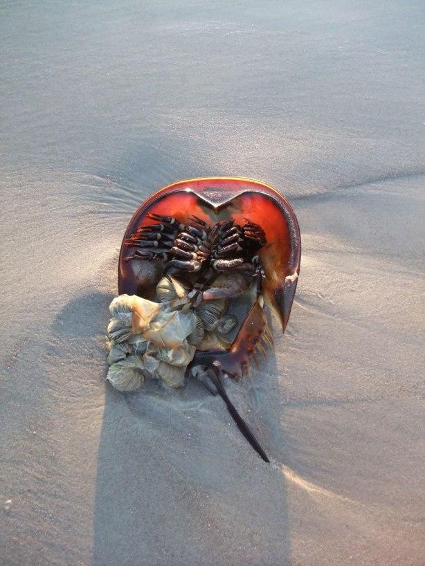 horseshoe-crab