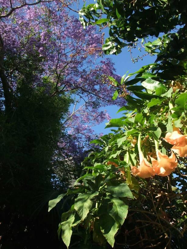 jacaranda-and-brugmansia