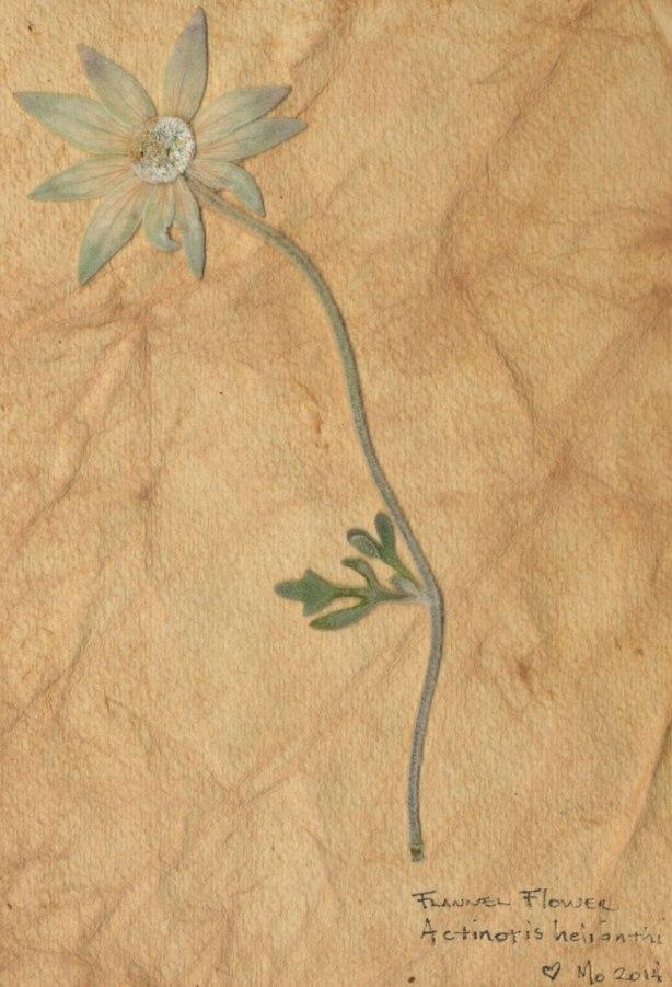 flannel-flower-book-inside Mo 14