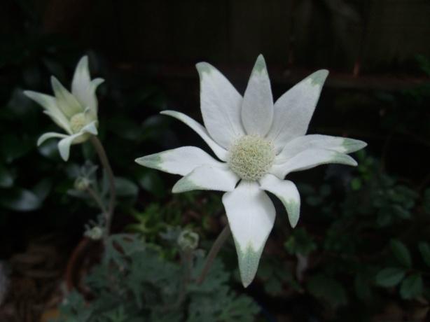 flannel-flower-Mo14