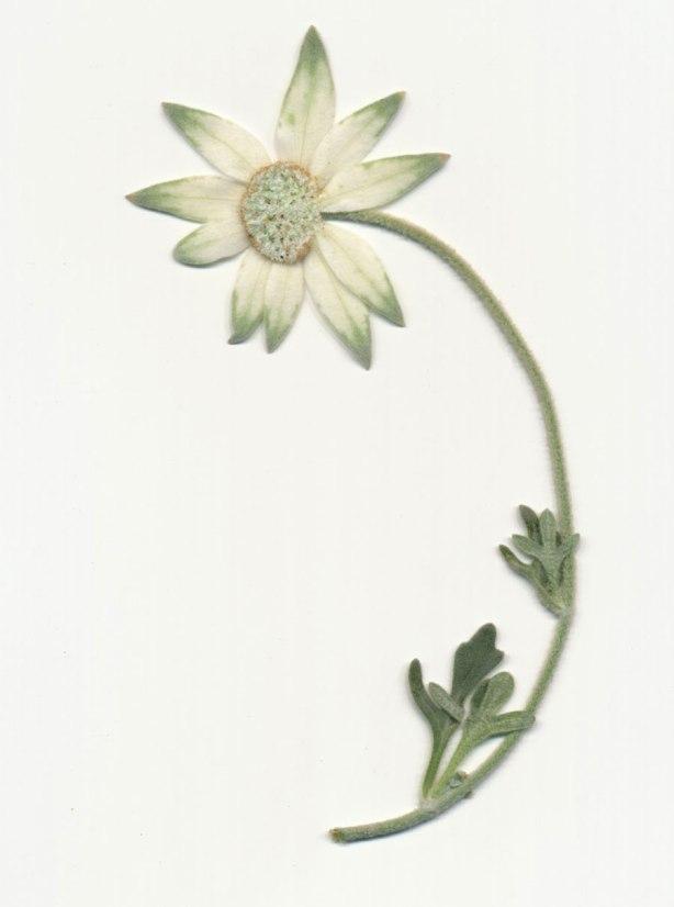 Flannel-Flower-pressed1-Dec-14-web