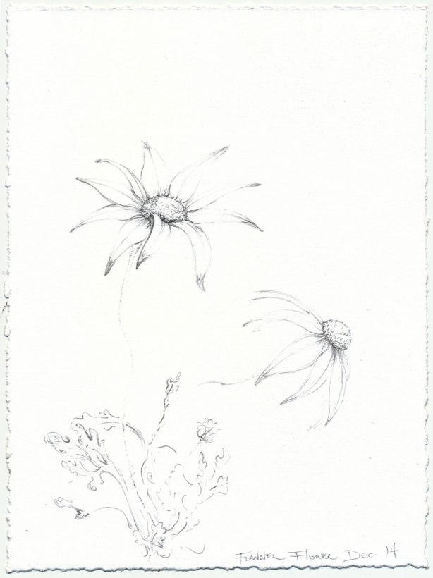 flannel-flower-sketch 2-Mo-14-web