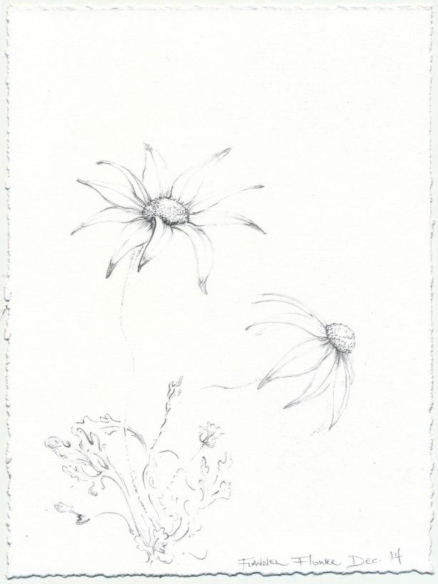 flannel-flower-sketch 2-Mo-14-web