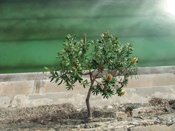 Banksia-at-Clovelly-baths