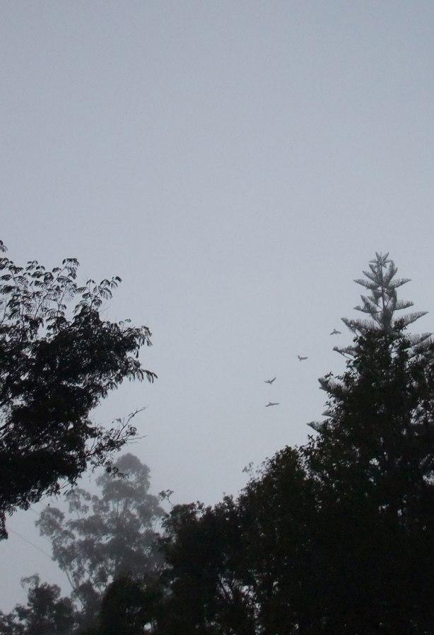 black-cockatoos