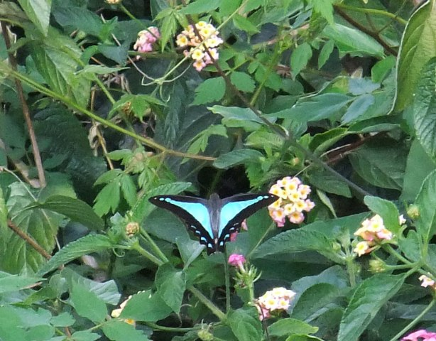 blue-triangle-butterfly-2015