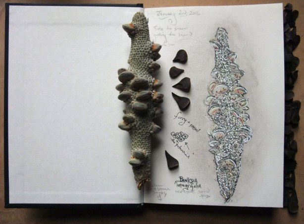 banksia-pod-and-seeds-sketch