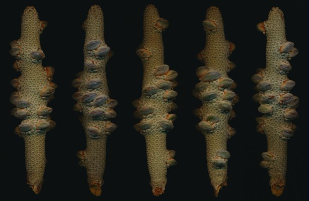 Banksia-seed pod-variations-Mo-15