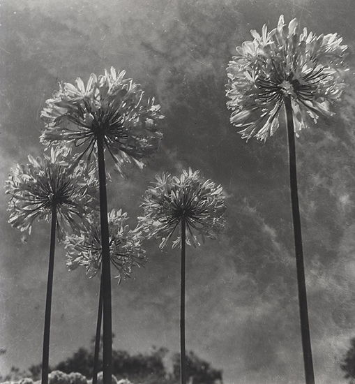 Olive Cotton Agapanthus 1955