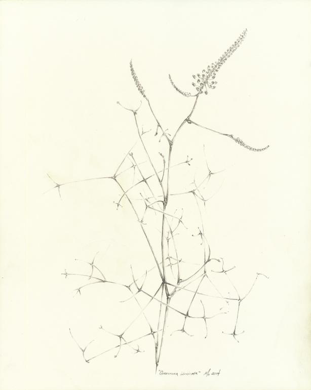 grevillea-intricata-web