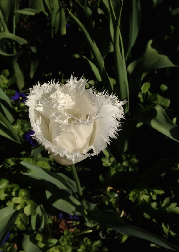 TulipXmas2012web
