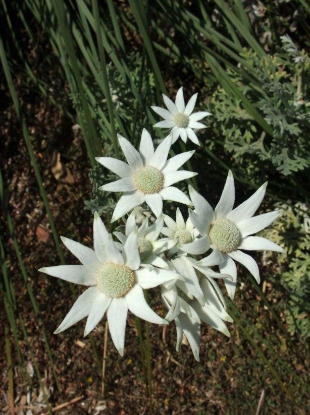 flannel-flowers-actinotus-helianthii