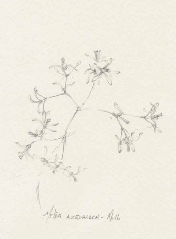 melia-azedarach-mo16
