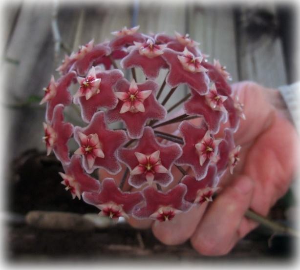 hoya-flower-dec16