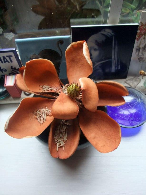 magnolia-little-gem-fade-3-mo-16